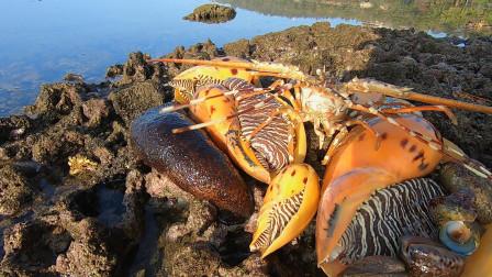 阿文赶海遇上椰子螺群,拳头大小随便捡,手臂粗的龙虾海参全都有
