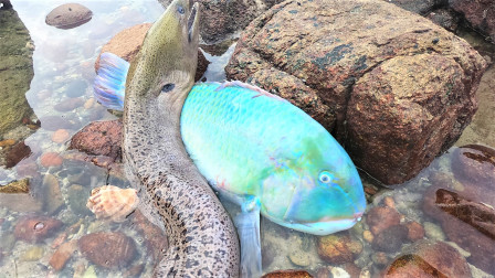 成精鳗王和成精鱼王连连搁浅,却被阿明一眼撞见,桶直接装不下了