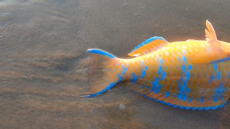 赶海撞见漂亮鱼却不抓,只因村里流传着一个传说,没人敢抓它!