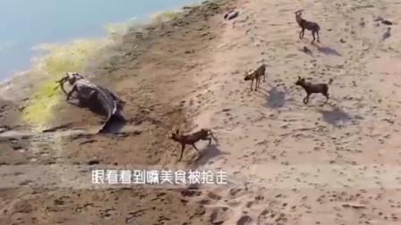 野狗群假装在河边喝水,把鳄鱼引上岸后,快速的将鳄鱼包围!