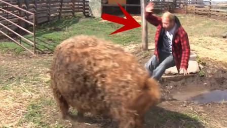 男子趁猪不注意,直接骑上猪背,下秒忍住不要笑