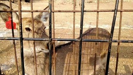 大连童牛岭鹿苑养殖的梅花鹿呆萌呆萌的,憨态可掬挺好玩的,它们的警惕性还挺高!
