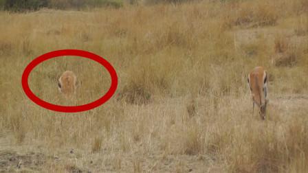 羚羊忽然倒地身亡!镜头放慢数倍后,才看清猎手面目