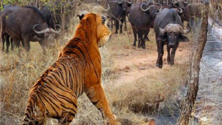 野牛被老虎捕获,本已绝望,危急时刻牛王赶到大战老虎!