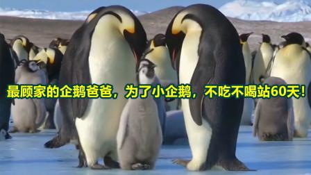 最顾家的企鹅爸爸,为了小企鹅,不吃不喝站60天!