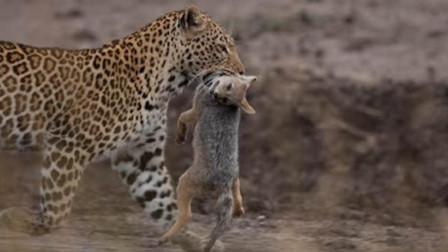 """""""豹""""怒了!胡狼三番五次挑衅豹子,豹子忍无可忍""""一击毙命""""!"""