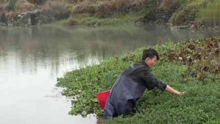 农村小明:农村野味真多!小伙河里摘野菜招待朋友,这样的野菜你们见过吗?