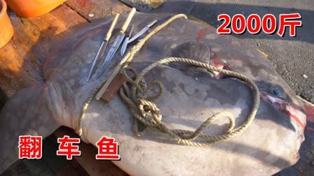 一年吃一次的翻车鱼料理,2000斤的鱼开切,满满的胶原蛋白