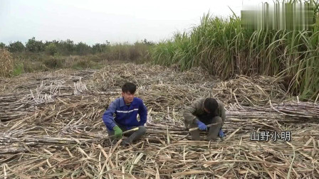 农村小明:农村很多人都外出打工,在家种甘蔗到底赚不赚钱,看小明怎么说