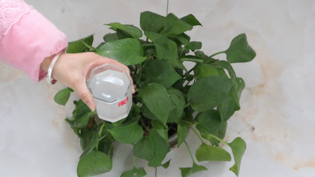 淘米水别随手倒掉了,把它倒在花盆里,就是一款肥水,养啥花都旺