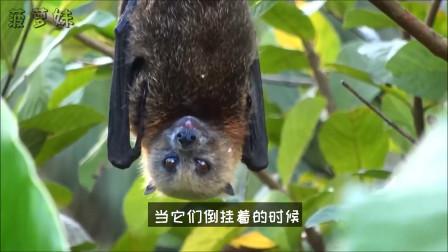 蝙蝠为什么喜欢倒挂着睡觉,它们不会睡着就掉下来吗?
