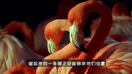 为什么火烈鸟在睡觉时单腿站立?