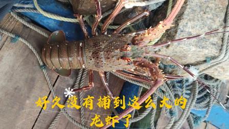 彪哥捕到了一只本港青龙虾,很久没有捕到这么大的了,一斤能值300多块钱