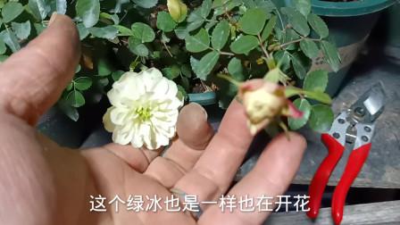冬天怎么让月季开花?只要做到这几点,月季冬天也能开出漂亮的花朵