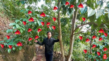 农村大叔靠种植这种果树,年收入800000元,年轻人宁愿打工也不做