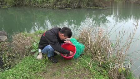 农村小明 :全村最藏鱼的小河,小伙买10块钱的猪肝做诱饵下地笼,收获太棒了
