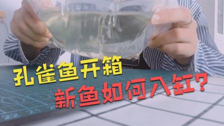 孔雀鱼开箱,新买的鱼应该如何入缸鱼儿更健康?