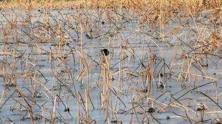 徒骇河湿地公园的水鸟