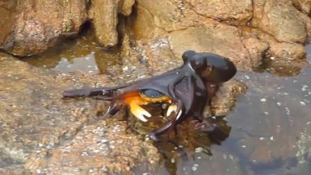 柔软章鱼抓住坚硬螃蟹,五分钟将其掏空!好一个以柔克刚!