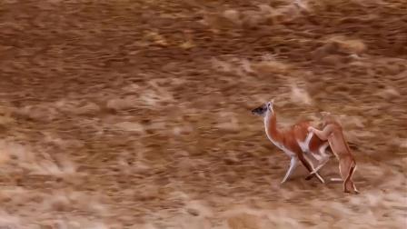 美洲狮围攻羊驼,结局真是出乎意料!