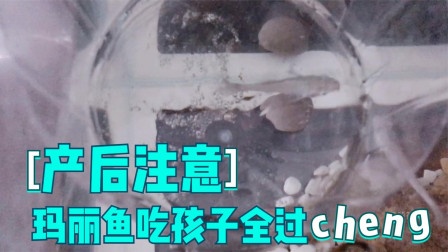 玛丽鱼产鱼全过程,边下边吃崽,母鱼产后护理及注意事项