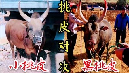 斗牛精彩挑皮、鲁都克小挑皮VS黑老挝挑皮