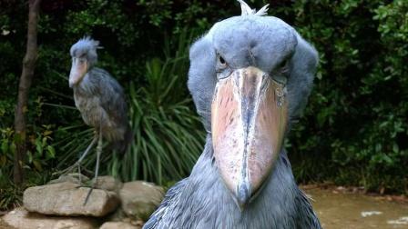 """世界上""""头""""最大的鸟,见到人类就鞠躬!"""