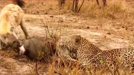 这只疣猪真惨,被花豹咬住后鬣狗赶来掏肛!