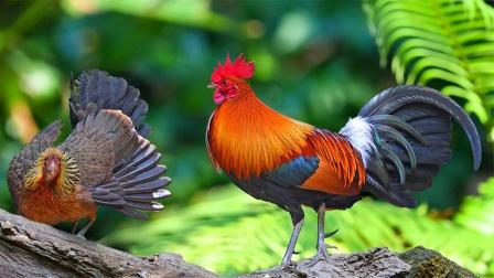 不是所有的鸡都能吃,这种吃一口坐牢10年