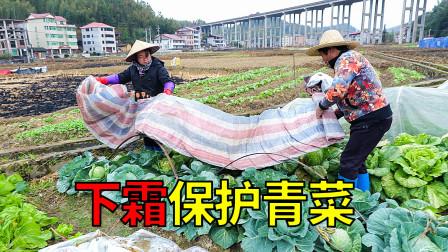 下霜了,为了冬天有蔬菜吃,农村婆媳一起把青菜保护好
