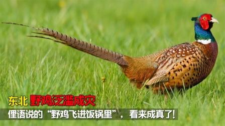 """东北野鸡泛滥成灾,俚语的""""野鸡飞进饭锅里"""""""