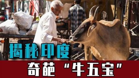 """牛在印度被当成宝,牛尿牛粪包治百病,揭秘印度奇葩""""牛五宝""""!"""