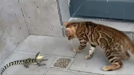 鳄鱼和猫咪养在一起,下一秒意外发生了!