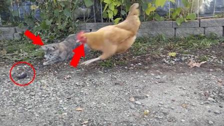 老鼠出门被猫戏耍,下一秒更被鸡盯上