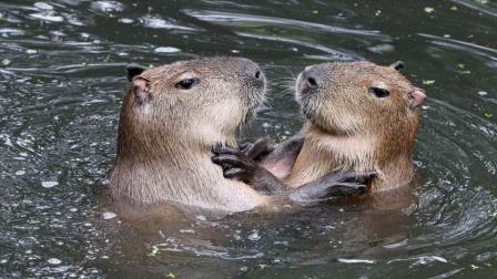 动物界的交际花:动物争着和它做朋友!