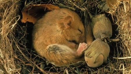 动物界的懒癌患者:会在睡梦中饿死!