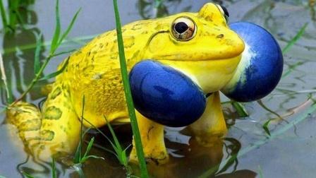 印度牛蛙为了脱单变身成土豪金!