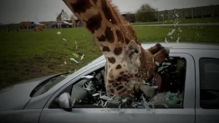 长颈鹿把头伸进车里讨要食物,吓得女子赶紧关窗,下一秒意外发生!