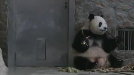 熊猫还是悠闲啊!