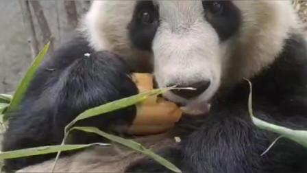 以后不吃竹子了,改吃南瓜