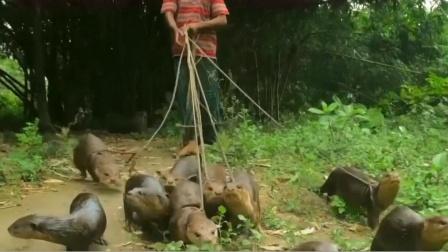 """传说中的""""水猴子"""",却在孟加拉被训练来捕鱼?镜头记录下全过程"""