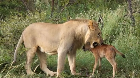 狮子捕杀小角马不吃,下一秒的做法让人意外!