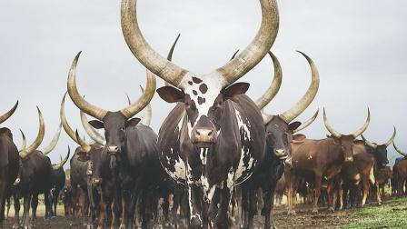 """非洲""""牛魔王"""",长着2.5米长的牛角"""