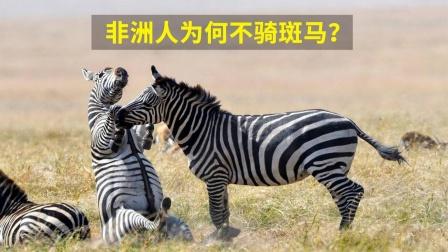 非洲的斑马满地跑,当地人为何不骑?