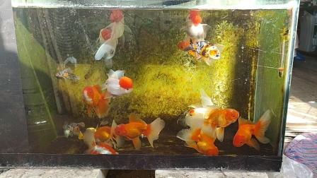 气温上升金鱼游起来了泰狮鹤顶红裙尾文鱼鎏金兰寿