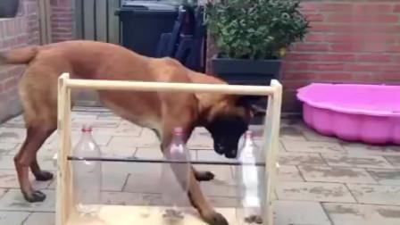 网友发明了一种可以让狗狗独自在家自娱自乐,又不会挨饿的方法