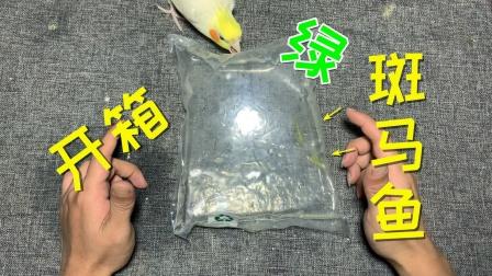 """开箱:""""绿斑马鱼""""2条,这种鱼的颜色真绿呀,是染上去的吗?"""
