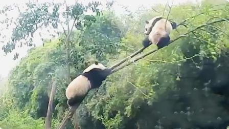 饲养员发现少了一只熊猫,抬起头瞬间被吓坏!