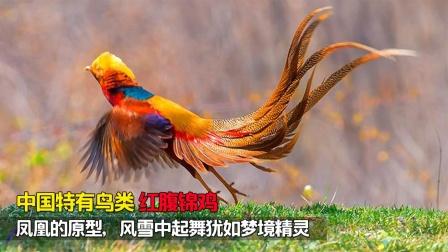 它是中国特有鸟类,是凤凰的原型