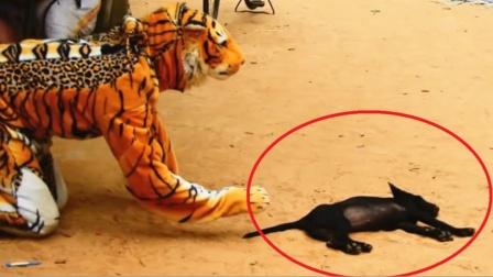 狗狗看到老虎会有啥反应?小伙假扮老虎亲测,下一秒忍住别笑